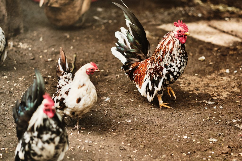 colour photograph of chickens