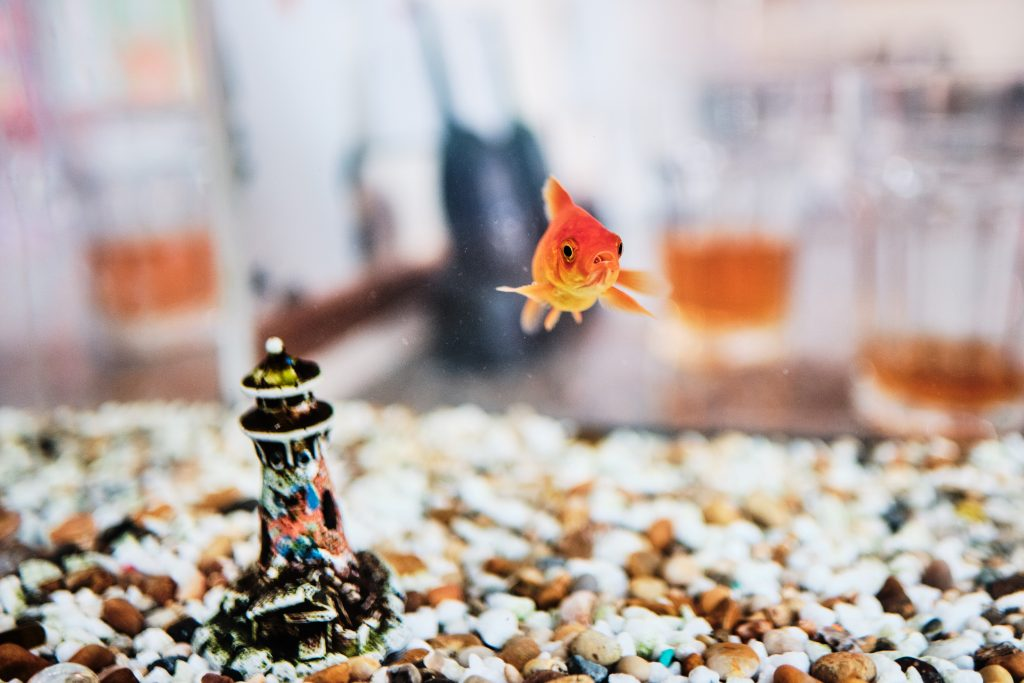 colour photograph of a goldfish